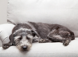 dog lying on couch in Florida